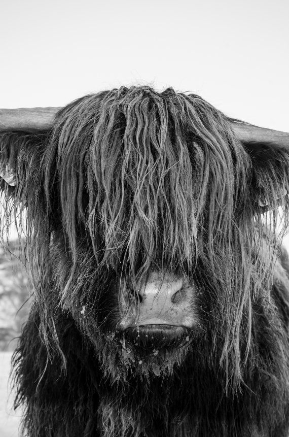 Highland Cattle 23  Fine Art Photography  Highland by shortwork, $16.00