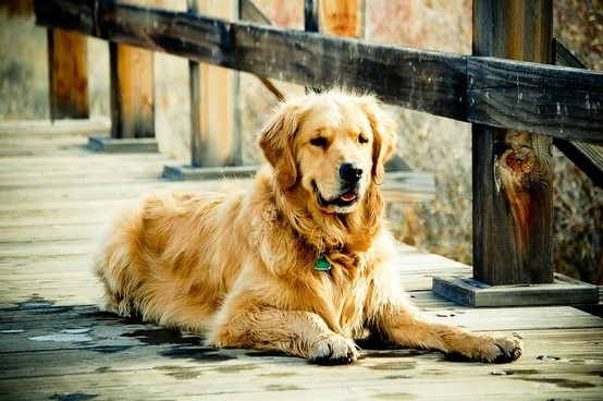 Tuck :), golden retriever, dog