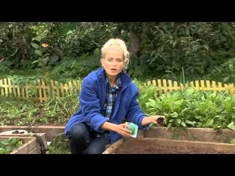 Все о выращивании капусты. ПОСАДКА РАССАДЫ В ГРУНТ.Часть 4 - YouTube