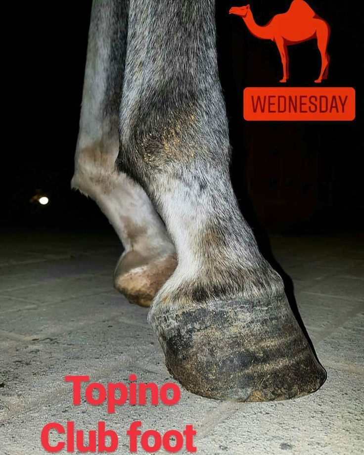 There are possible causes that predispose the hoof club foot as they are: Congenital factors: transmitted by the father for example and develops in the womb of the mother. Accelerated growth of the bones in relation to that of the tendons and consequently the deep flexor tendon is shorter and pulls the third phalanx and an overgrowth of the heels occurs. The horse's posture at the time of eating the horse leaves one hand behind (there is no normal wear of the hoof and the heels grow unduly)…