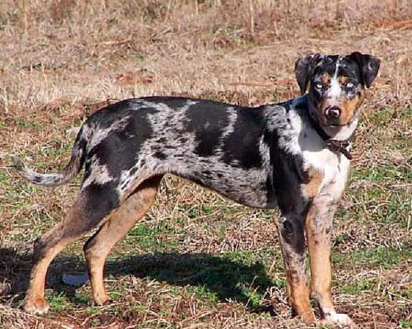 Catahoula Leopard Dog Cur: You guessed it--I'll have one of these as well.