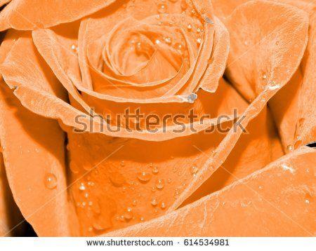 Beautiful rose petals close-up