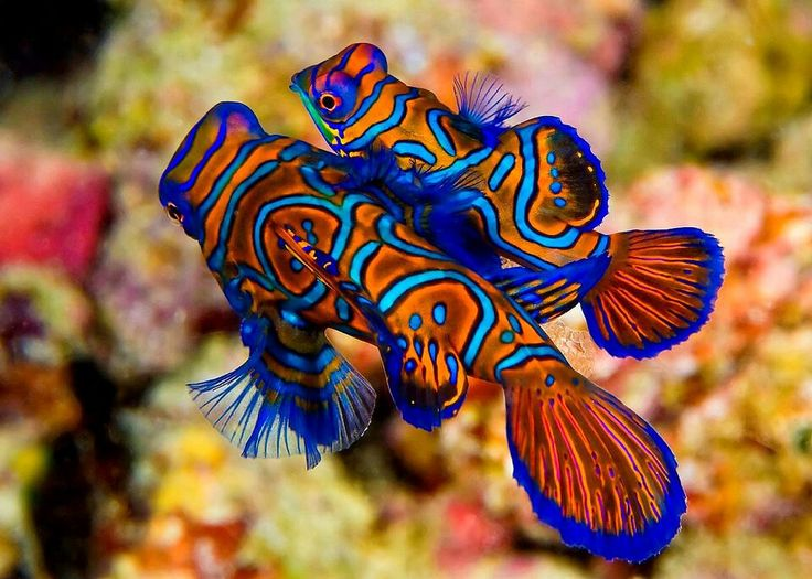 Mandarin dragon fish animals pinterest mandarin fish for Red saltwater fish