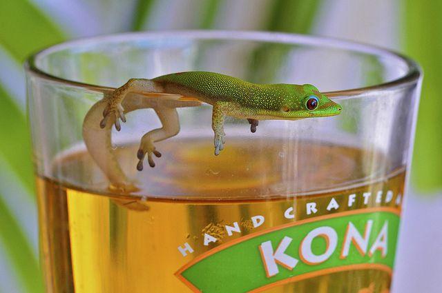 Gecko and a beer, Kona, Hawaii: Animals, Weight, Beer, Bigisland, Funny, Hawaii, Geckos, Big Island