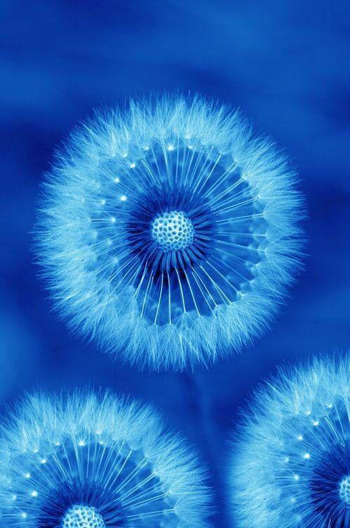Dandelions blue art