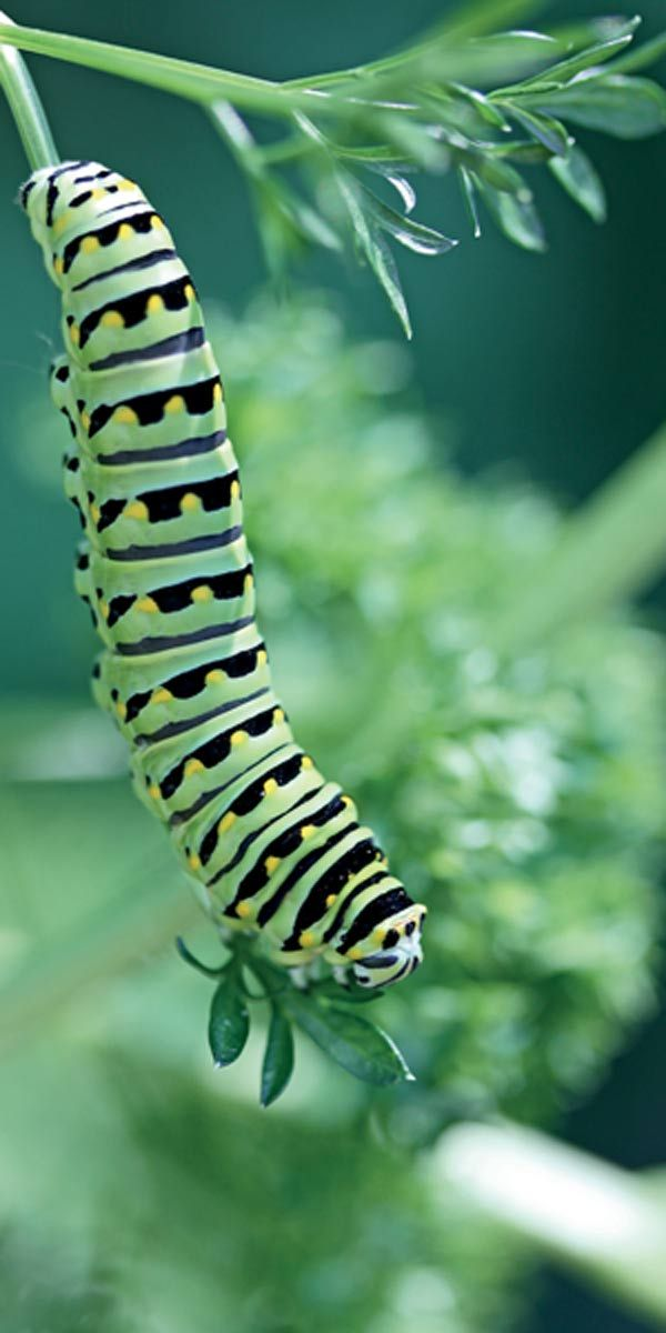 Black Swallowtail Caterpillar -Pollinator Friendly Gardening: We know it's important to provide flowers that attract butterflies, but there's another important element that is often overlooked. The baby nursery! Without a place to lay their eggs and nurture their young, we can't have the mature butterflies we love and provide essential pollination for our gardens.