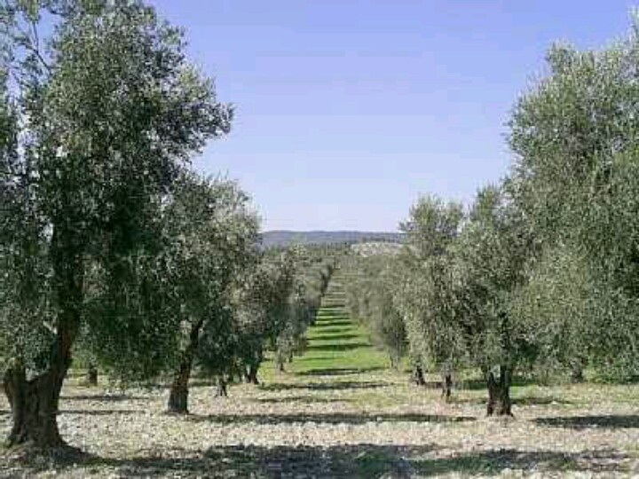 Olive groves, oohh the best olive oil!  Vieste, Italy ...