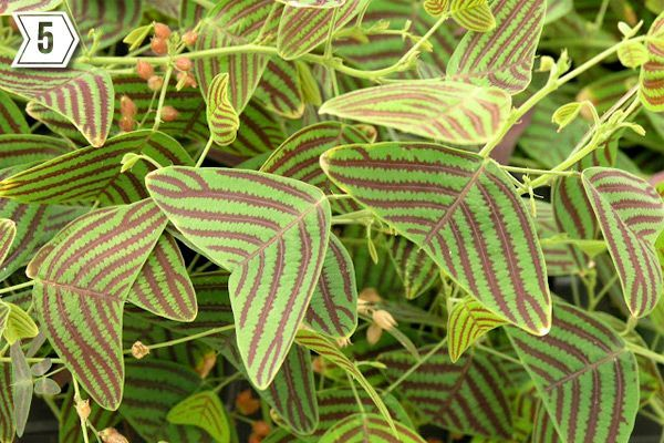Christia obcordata, common names are 'Swallowtail,' 'Butterfly,' or 'Stripe' for obvious reasons. This is a somewhat obscure specimen first imported and made available in the United States by a fellow Portlandian, Burl Mostul of Rare Plant Research. A conversation piece in any garden, the wing-shaped leaves and chartreuse-maroon color combination is stunning in an area that gets bright indirect light.