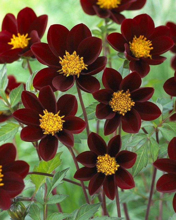 Dahlia 'Mexican Star' (tidigare 'Mexican Black') | En uppseendeväckande sort som får mörkt chokladfärgade blommor som påminner om rosenskäror. Enkla anspråkslösa blommor som är vackra i naturella patinerade lerkrukor. När allt annat ser trött och visset ut på hösten, fortsätter den oförtrutet att blomma. Den bildar knoppar långt in på hösten. 75 cm hög.  Blomdiameter 6 cm. Blommar jul-okt.