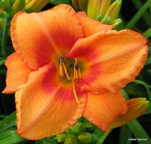 Daylily 'Leebea Orange Crush': Gorgeous Bloom, Orange Bloom, Orange Crushes, Crushes Daylily, Pretty Orange, All American Daylily, Daylily Orange, Leebea Orange, Rich Orange