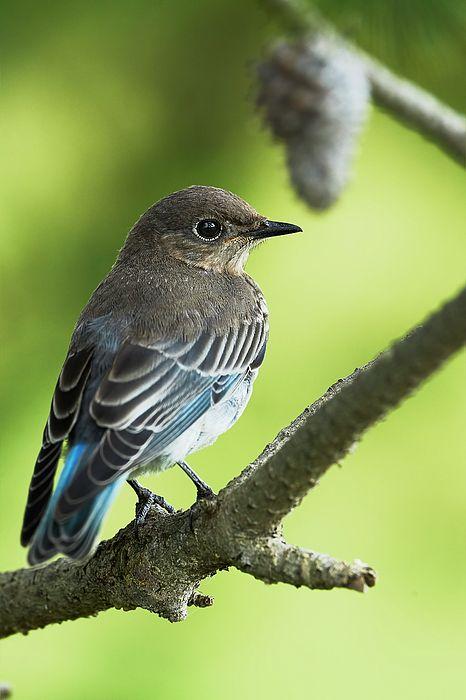 A female Mountain bluebird