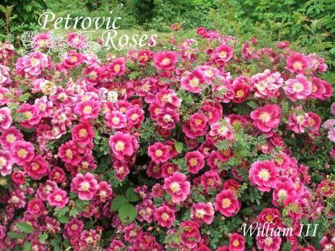 William III | Petrovic Roses