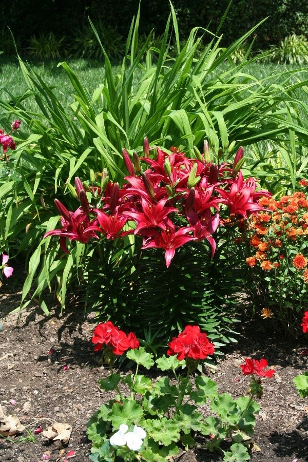 Bright red lilies!