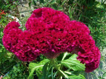 Growing coxcomb from seed.