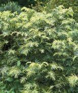 Japanese Plum Yew (Cephalotaxus harringtonia)  (5-10'x5-14')