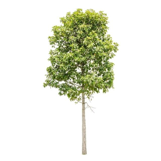 Isolate Trees On White Background Nature Collection Of Trees Background Png Transparent Clipart Image And Psd File For Free Download White Background Black Background Wallpaper Garden Clipart