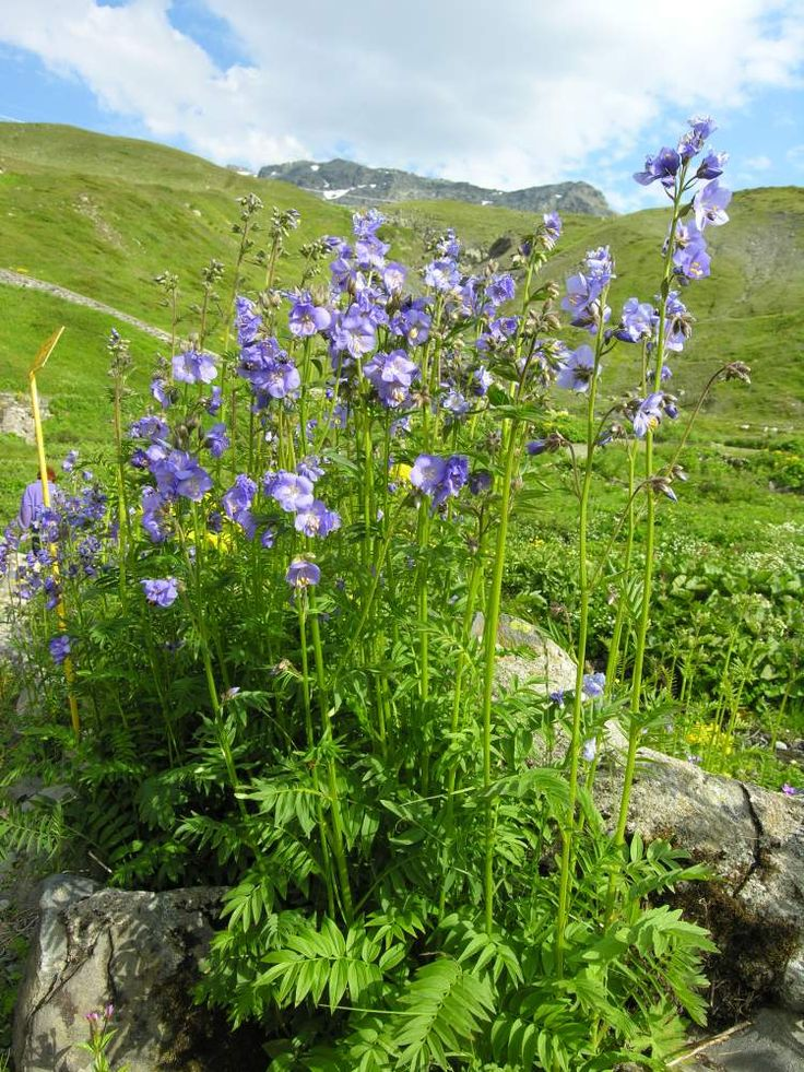 Jirnice modrá Polemonium caeruleum