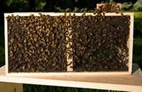 Buy Bees | BeeWeaver Apiaries, Inc