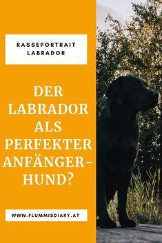 Der Labrador Als Perfekter Anfangerhund Alles Zur Hunderasse Labrador Retriever Erfahr Labrador Retriever Training Labrador Retriever Puppies Golden Retriever