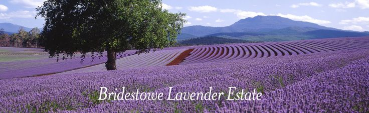 Bridestowe Lavender Estate, 296 Gillespies Rd, Nabowla Open 9-5pm seven days a week in summer (extended to 7.00pm in January), and Monday to Friday 10-4pm during winter. The full cafe menu is available between 11.00am - 2.30pm.