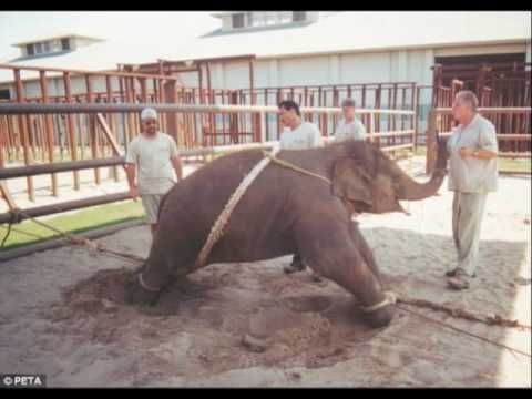 Ringling Brothers breaking baby elephants to perform in their circuses. This is not our natural 'right' as humans. This is violence and greed for profit.  #boycottthecircus