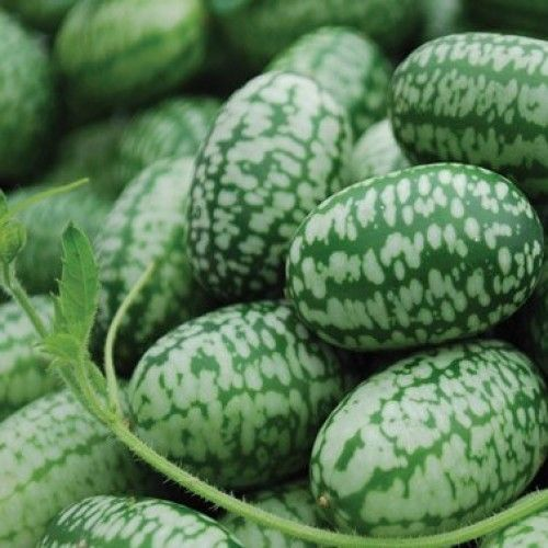 Mexican-Miniature-Watermelon-Seeds-Organic-Cucamelon-Mini-Sour-Gherkin-15-Seeds