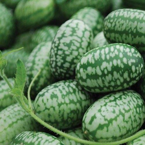 Mexican-Miniature-Watermelon-Seeds-Organic-Cucamelon-Mini-Sour-Gherkin-15-Seeds