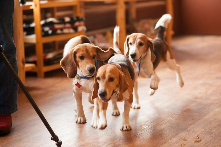 beagle rescue project Click here now to view all missouri beagle rescue groups and beagle dog shelters ― ♥ rescue shelter network ♥ ۬.