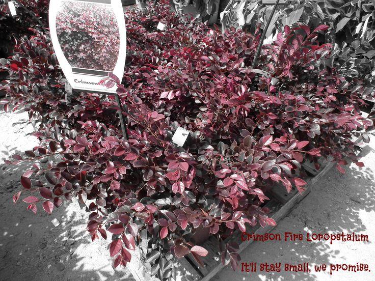 NEW!!!! JUST IN!!!! The Crimson Fire Loropetalum (Fringe ...