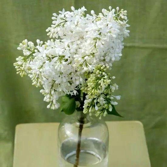 Syringa «Angel White». Flor blanca elegante y olorosa.