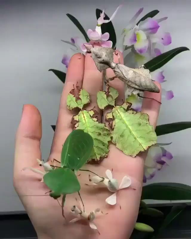 Handful Of Leaf Insects Cool Insects Orchid Mantis Insects