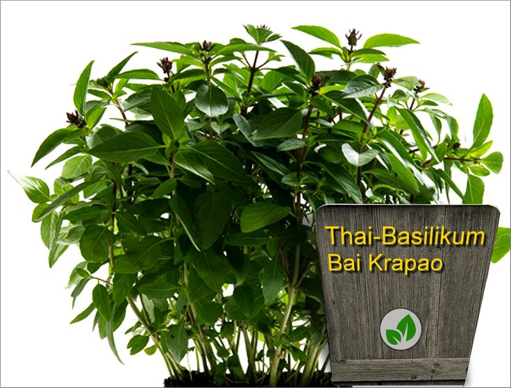19 best exceptional herbs from thailand images on. Black Bedroom Furniture Sets. Home Design Ideas