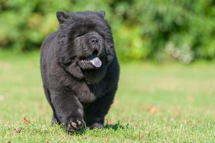 Chow Chow Dog Breed Information Chow Dog Breed Chow Puppies For