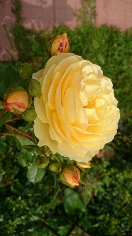 Наша садовая роза