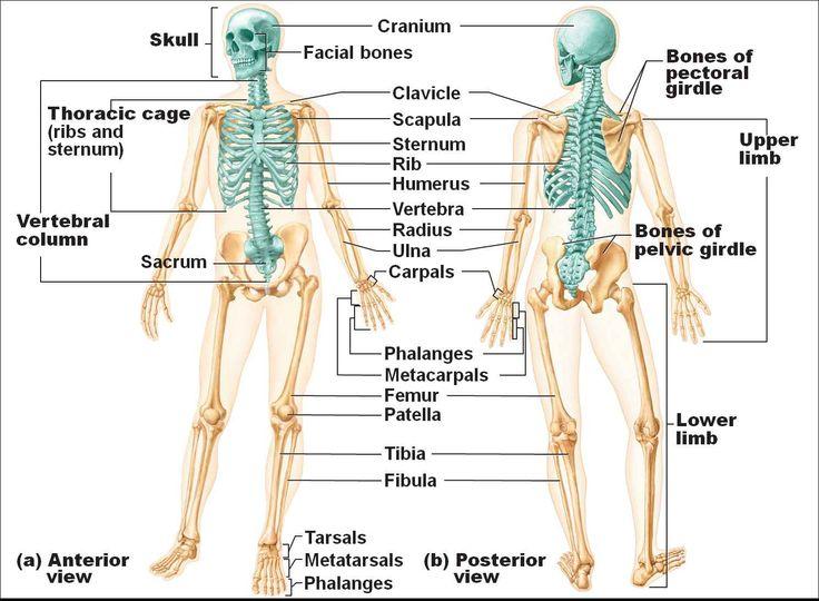 78 Best Medviz Skeletal System Images On Pinterest Human Body