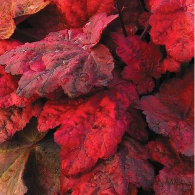 Żurawka 'Autumn Leaves' Heuchera