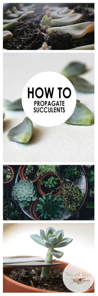 Succulents, How to Propagate Succulents, Propagate Succulents for Spring, Spring Gardening, Spring Gardening Projects, How to Grow Succulents Indoors, Growing Succulents Outdoors, Popular Pin
