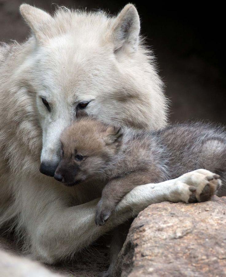 Louve et son petit