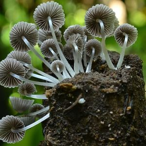 #Millionen Pilzarten noch unentdeckt - Laborpraxis: Laborpraxis Millionen Pilzarten noch unentdeckt Laborpraxis Coprinellus disseminatus…