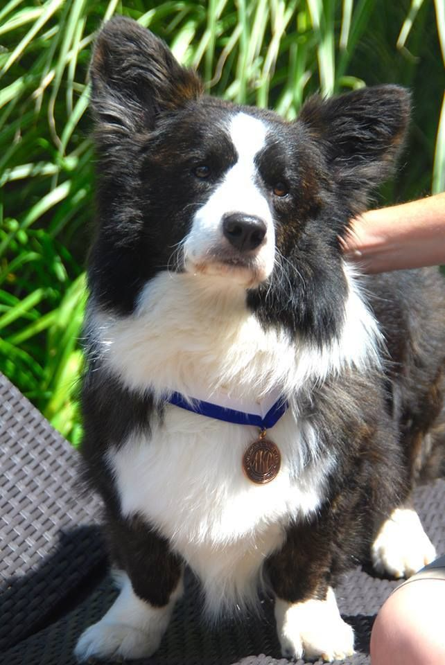 Fluffy Cardigan Corgi Corgi Cardigancorgi Corgi Mix Puppies