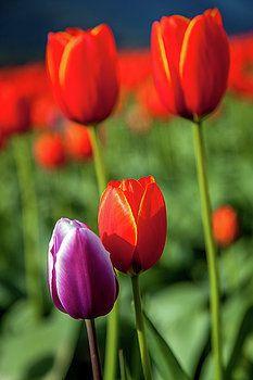 Art Calapatia - Orange Tulips 9