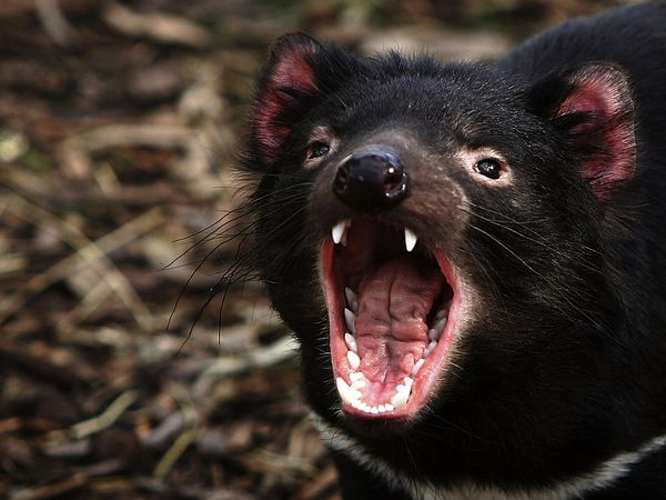 Tasmanian devils have a notoriously cantankerous disposition and will fly into a maniacal rage when threatened by a predator, fighting for a mate, or defending a meal.