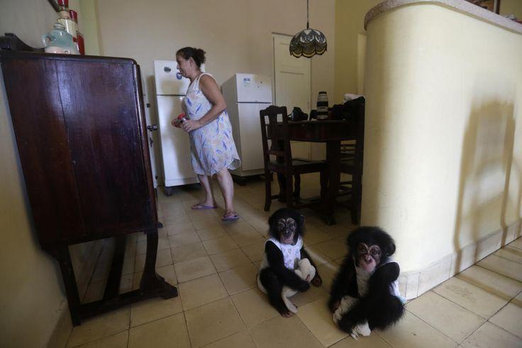 Cuba Monos 1Ada, a la derecha, con siete mese de edad y Anumá de nueve meses. 7 de septiembre de 2017.