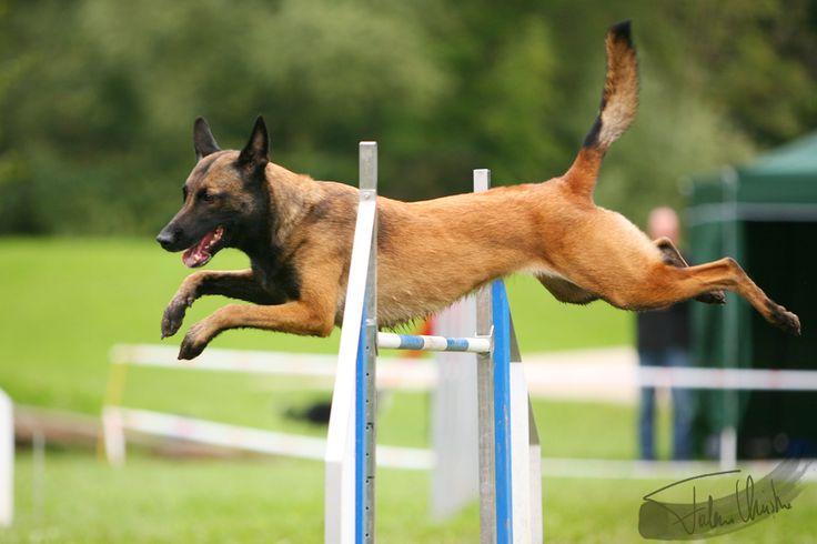 belgian shepherd malinois agility