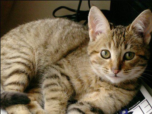 Razas de Gatos: California Spangled Cat