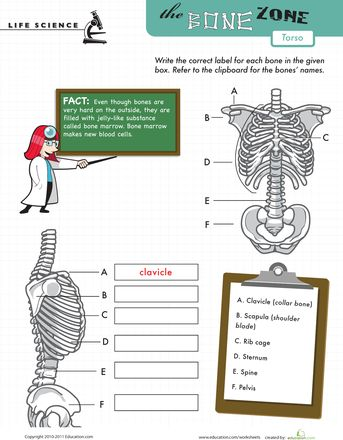 17 best images about worksheets and quizzes on pinterest muscle crossword and human skeleton. Black Bedroom Furniture Sets. Home Design Ideas