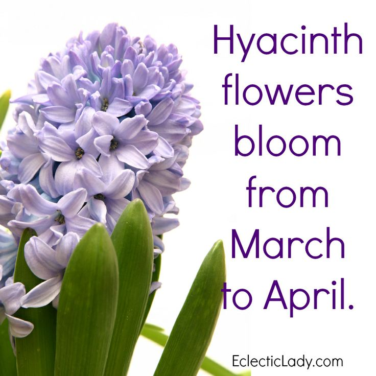 Hyacinth flowers bloom from March through April. This is one of our most popular fragrances. Http://hyacinth.eclecticlady.com