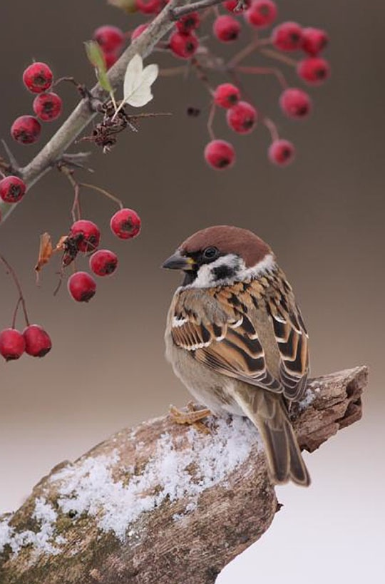 post by Big Bird  Tree Sparrow