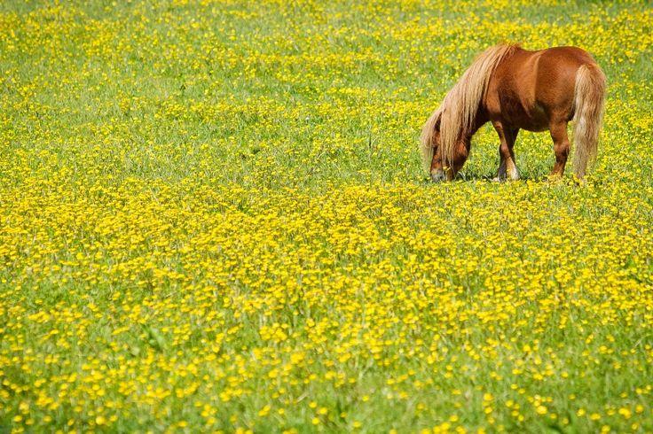 Hoefbevangen paarden geen gulzigere eters | Hoefslag