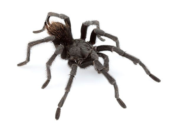 米カルフォルニア州で発見された、新種の黒いタランチュラ。このクモは、米歌手のジョニー・キャッシュさんにちなんだ「アフォノペルマ・ジョニーキャシ」との学名をつけられた 【AFP=時事】